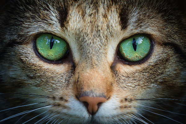What Is Keratitis In Cats Diagnosis And Treatment Catster