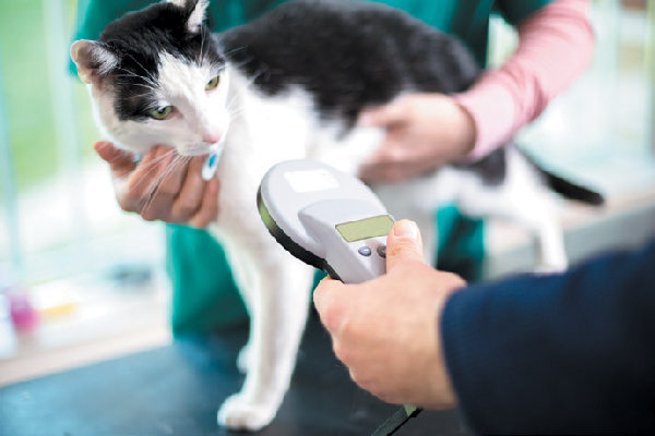 Cat getting microchip or ID checked.