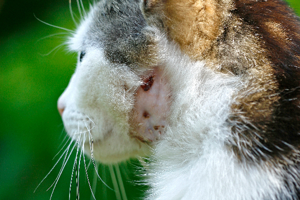 Close up of a cat abscess.
