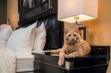 Hamlet, the Algonquin cat.
