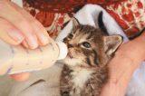 A baby kitten being bottle fed.