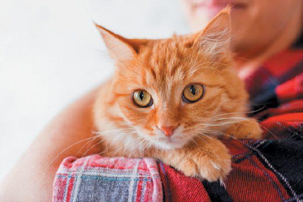 A cat looking over a human's shoulder.