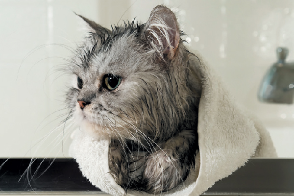 A cat who just got out of the bath.