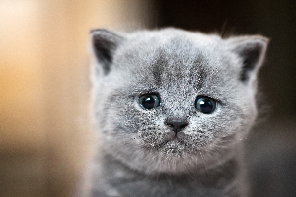 A gray cat crying and looking upset.