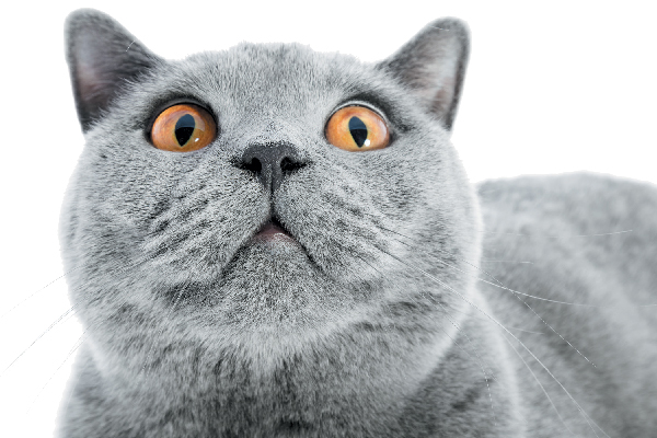 A gray cat looking shocked or confused.