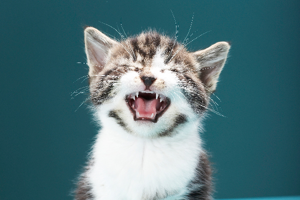 Do Cats Cry? What to Know and What to Do About a Crying Cat