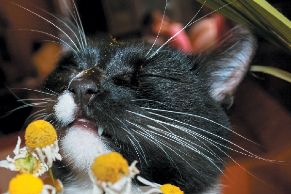 A cat smelling chamomile.