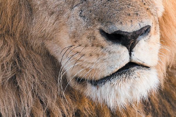 Lion whisker closeup.
