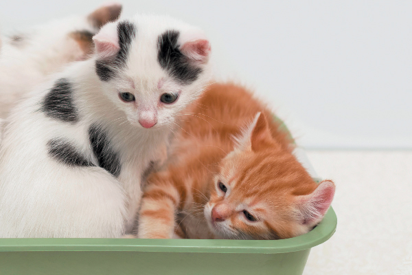 Tiny kittens in a litter box.