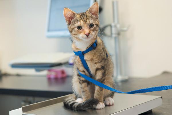 A kitten on a harness on a vet scale.