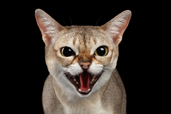 Cat screaming mouth open, making noise.
