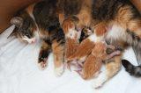 A kitten nursing her babies.