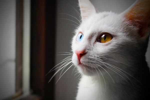 Lets Talk Cats With Different Colored Eyes Or Heterochromia In