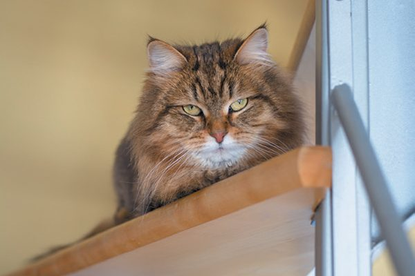Angry brown cat starring from a ledge.