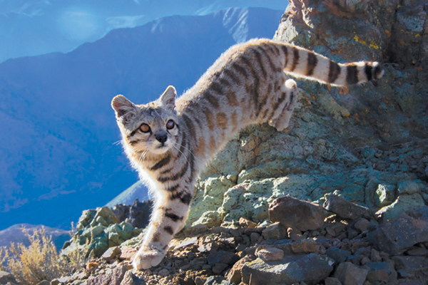 Molle the Andean Cat climbing rocks in the wild.