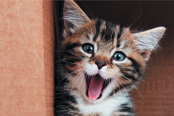 Kitten's face with her mouth open wide in a meow.