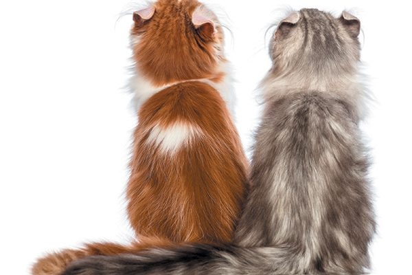 One orange and one grey kitten with their backs faced to the camera.
