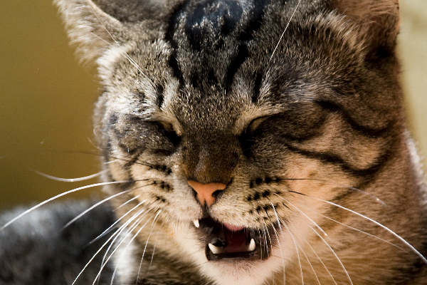 Cat with mouth open, maybe sneezing.