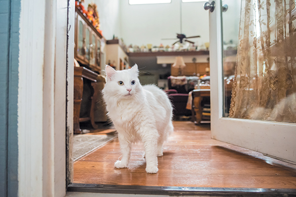 White cat standing in the doorway of the owner's home.