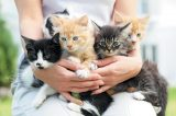 Five kittens being held in a person's arms.