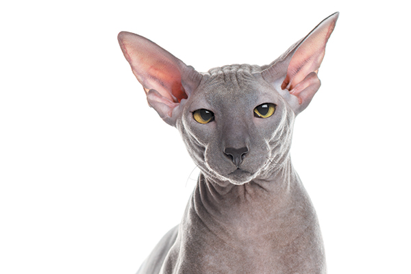 Peterbald cat close-up of face.