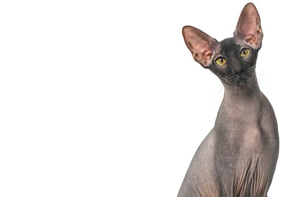 Peterbald cat sitting down, his green eyes starring into the camera.