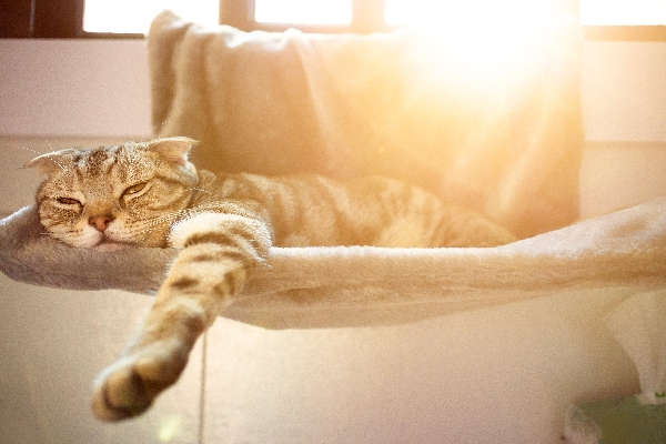A cat asleep in a cat bed in the sun looking tired or lethargic.