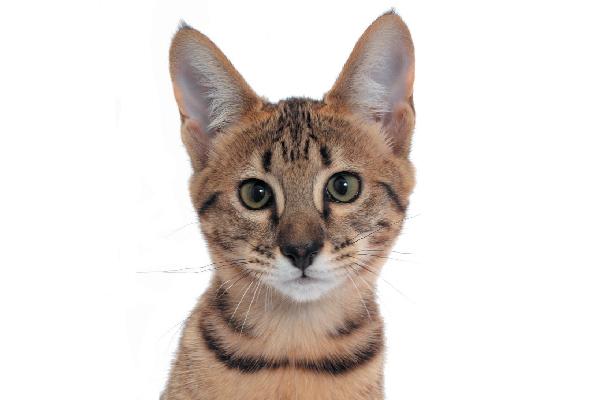 Savannah cat closeup.