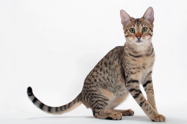 A Savannah Cat.