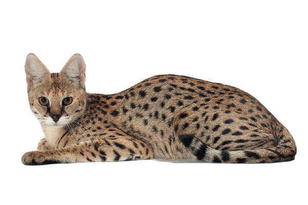 The Savannah cat.