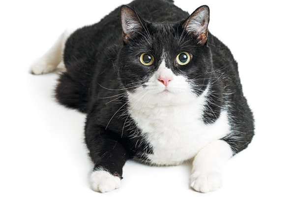 Overweight cats are at an increased risk for diabetes, which can lead to dry, flaky coats. Photography ©adogslifephoto | Getty Images.