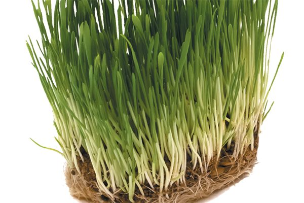 Grass is a lightweight form of natural cat litter. Photography ©undefined undefined | Getty Images.