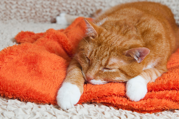 An orange tabby cat sick or asleep on a blanket.