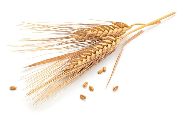 Wheat has a nice, natural smell as a form of natural cat litter. Photography ©Barcin | Getty Images.