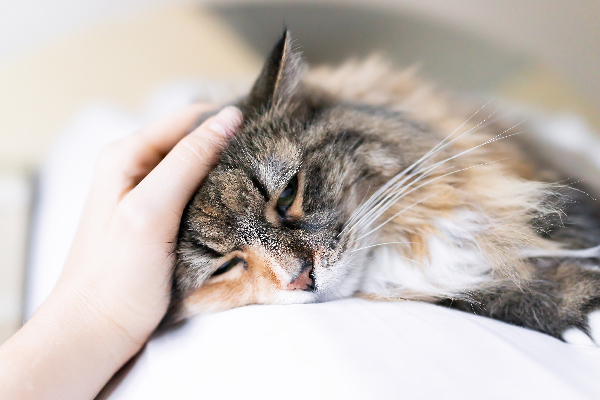 A calico cat getting pet — might be sick or at rest.