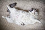 A fat cat lying down showing off his stomach.