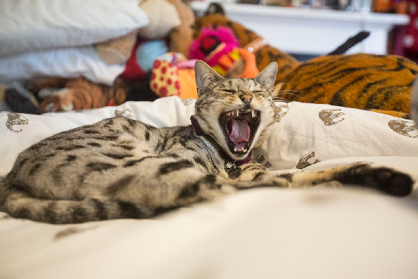 A tired cat yawning or sleeping on bed.