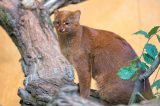 Not a spot to be found on the jaguarundi wildcat. Photography ©johan10 | Getty Images.