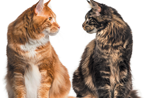 Verdicts vary among pet parents when deciding whether to use wet or dry cat food. Photography ©GlobalP | Getty Images.