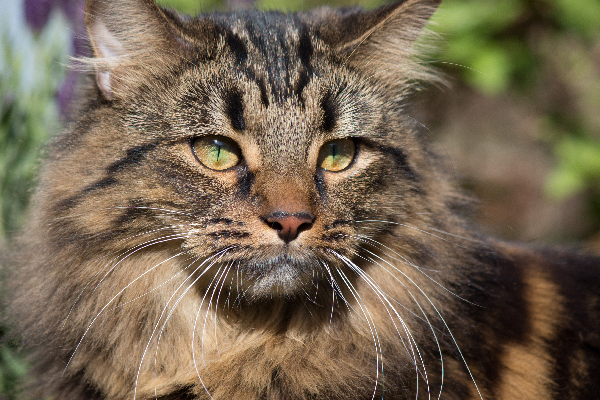 MUST Litter (ThunderClan) Brown-tabby-cat-close-up-outdoors