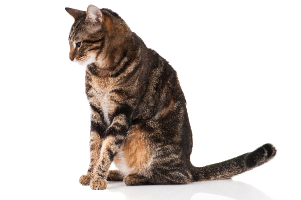A full-body brown tabby cat.