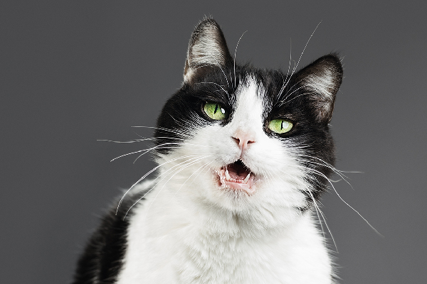 A black and white cat with his mouth open making noises or sounds.