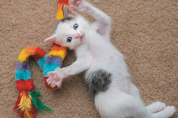 Kittens develop their renowned agility and sense of balance through play. Photography ©Casey Elise Photography.