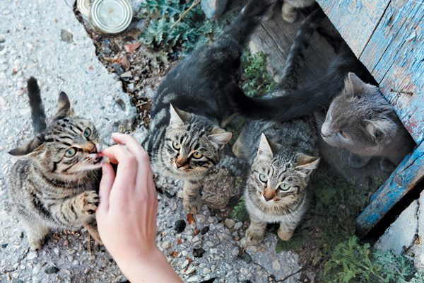 Trap-neuter-return improves the lives of feral cats and their relationship with the community. Photography ©Dovapi   Getty Images.