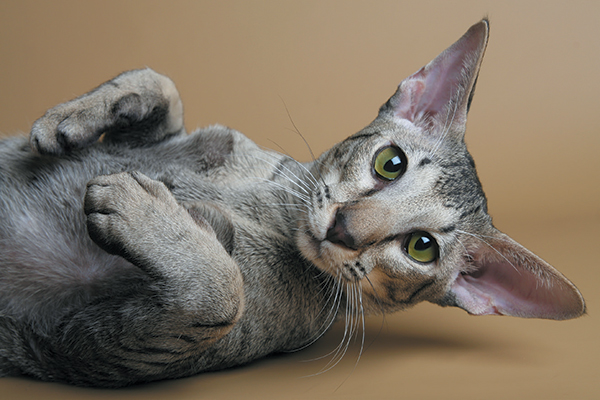 The Oriental cat can be found in more than 600 patterns. Photography ©GlobalP   Getty Images.