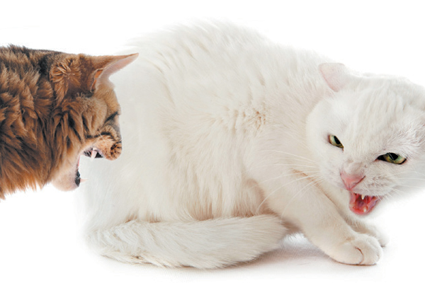 Pheromones are effective at decreasing feline aggression. Photography ©cynoclub | Getty Images.