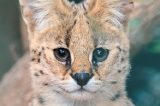 Serval.