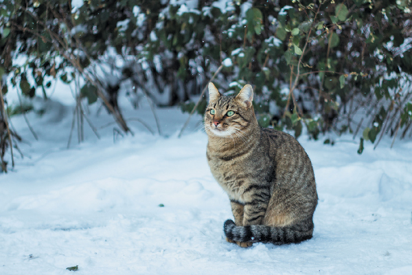 A tabby cat outside in the snow.