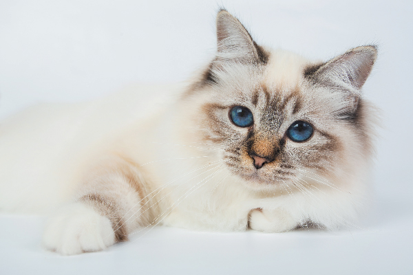 Birman cat face.