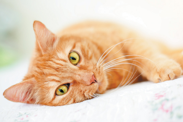 Orange tabby cat lying down.